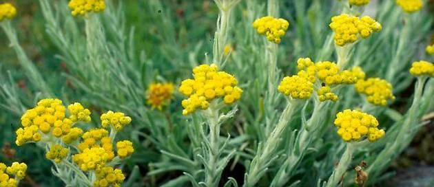 Польза и вред травы бессмертник: лечебные свойства и противопоказания