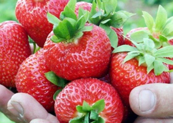 Клубника кимберли: описание и урожайность сорта, фото, отзывы