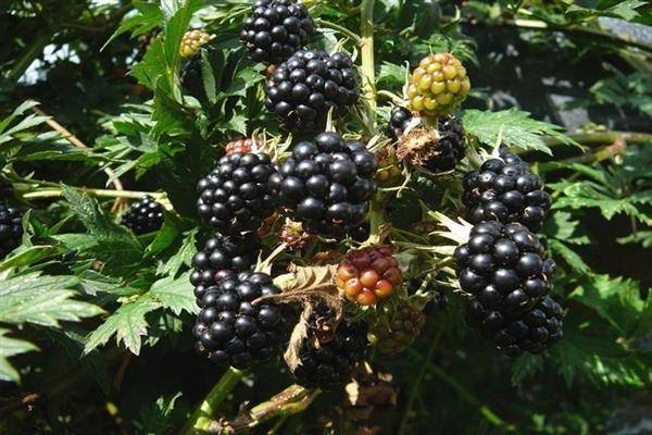 Ежевика орегон торнлесс: характеристики сорта и особенности выращивания