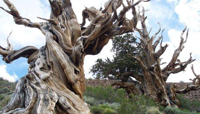 Мафусаил (дерево)