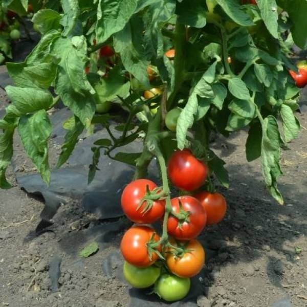 Сорт помидор анюта f1: урожайность и характеристика