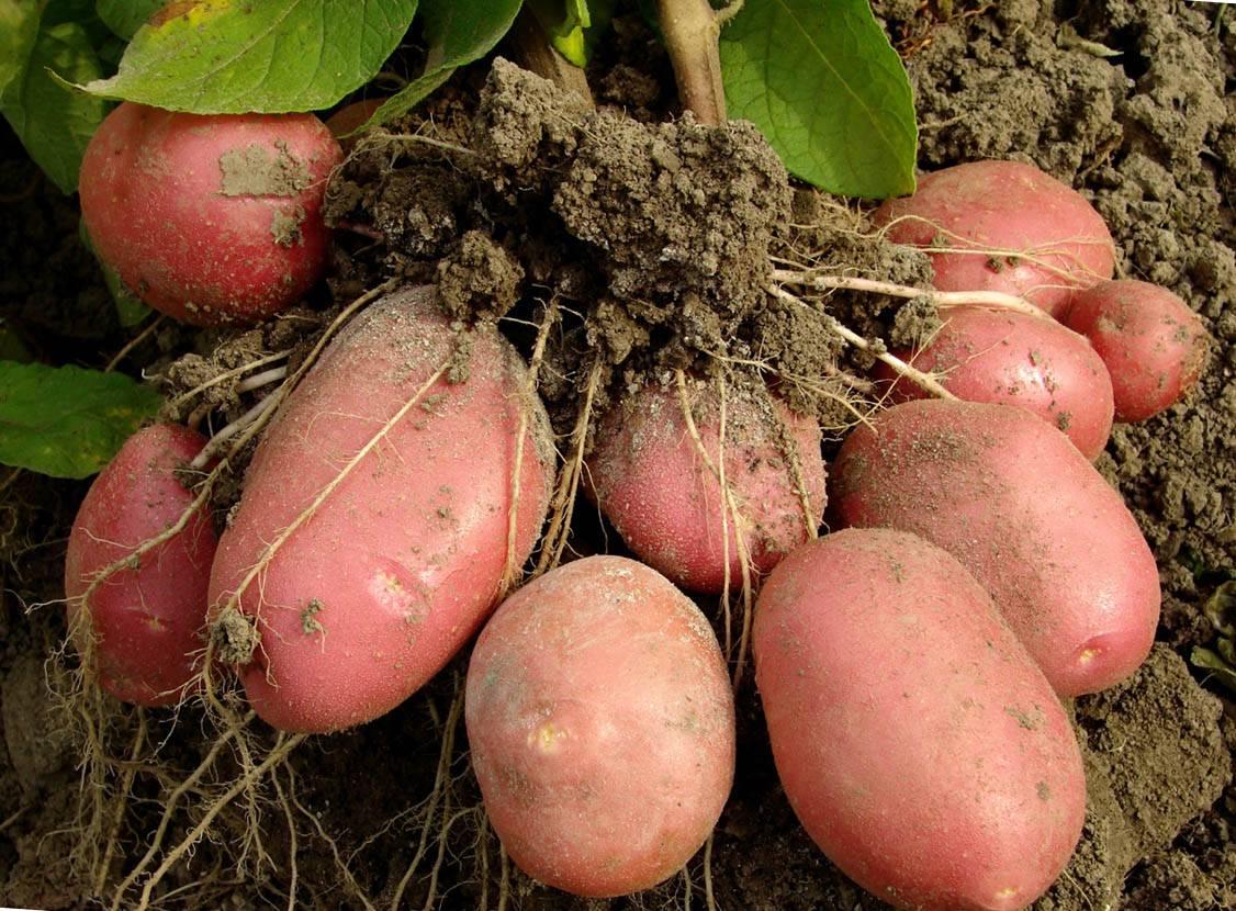 Выращивание картофеля по голландской технологии – максимальный результат при минимальных усилиях
