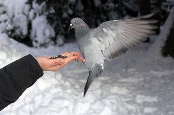 Чем кормить голубей - что они едят?