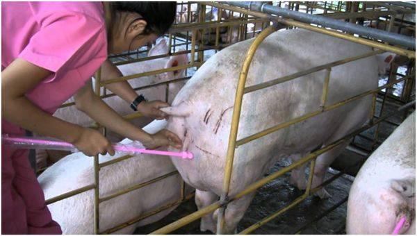 Искусственное осеменение животных