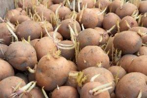 Описание и характеристика раннеспелого сорта картофеля «вега». выращивание и уход