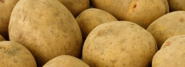"""Картофель """"скарб"""": описание  сорта, характеристики и фото"""