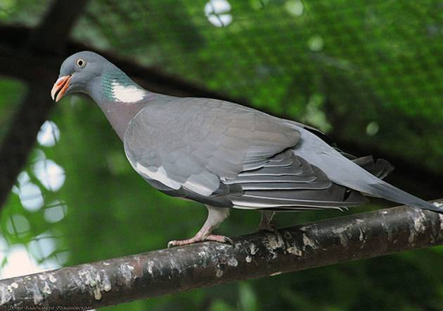 Вяхирь дикий голубь. образ жизни и среда обитания вяхиря
