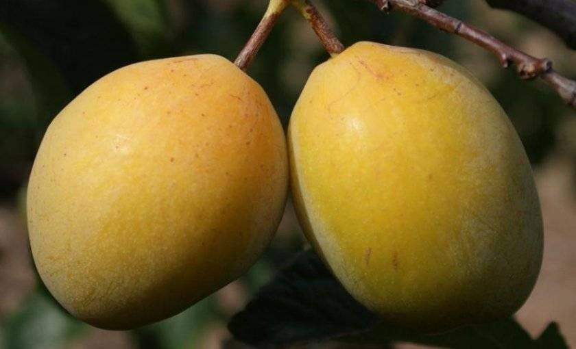 Описание лучших сортов желтой сливы, посадка, выращивание и уход