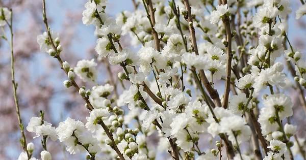 Декоративный миндаль: виды и сорта, посадка и уход за кустарником, цветение