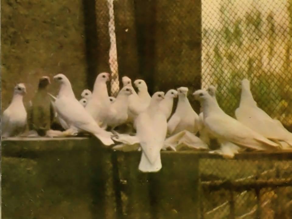 Описание голубей породы турецкая такла