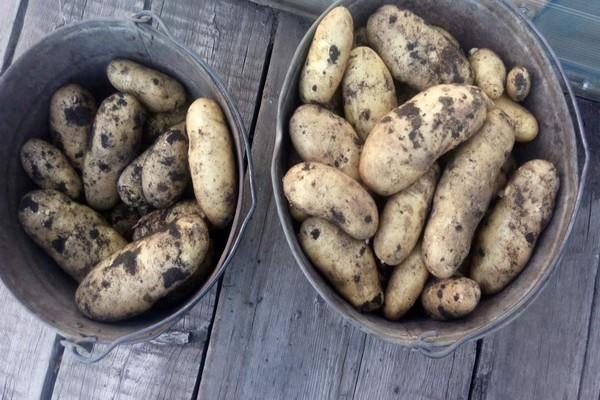 Немецкий картофель «королева анна» на полях и огородах страны