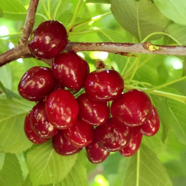Нет плодов на вишни: что делать, если не плодоносит вишня