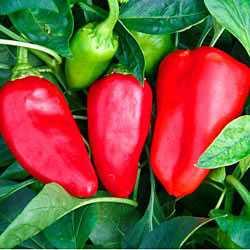 Обладатель безупречного вкуса и мясистой мякоти — перец здоровяк: описание сорта и отзывы
