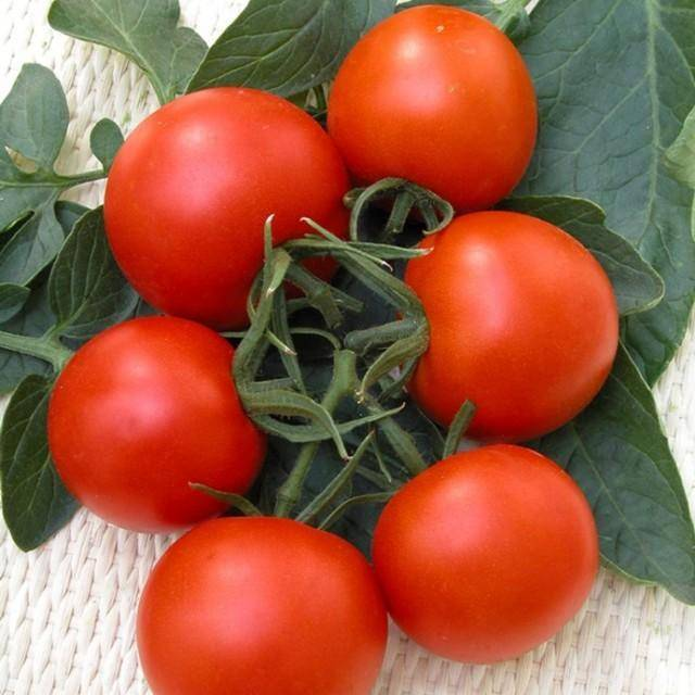 Сорт томата «верлиока плюс f1»: описание, характеристика, посев на рассаду, подкормка, урожайность, фото, видео и самые распространенные болезни томатов