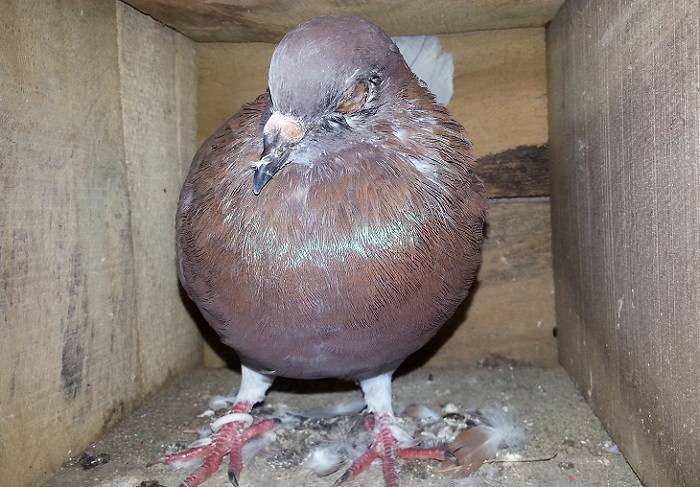 Какие болезни существуют у голубей?