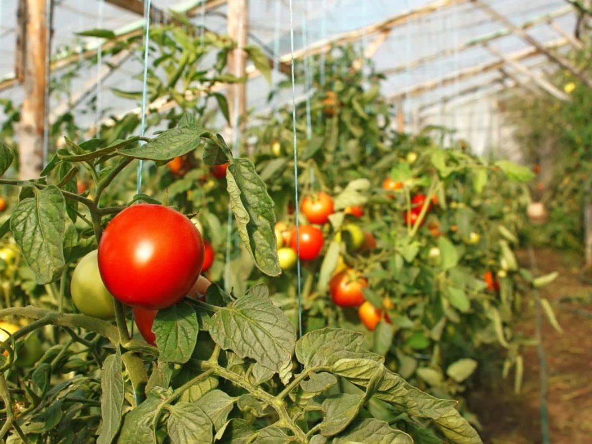 Посадка и уход за помидорами в теплице из поликарбоната