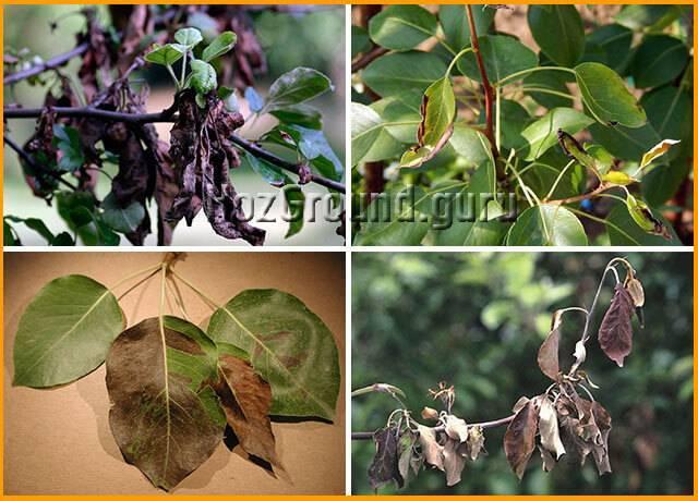 Причины почернения листьев на груше