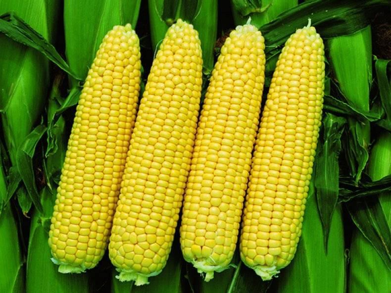 Можно ли из обычной кукурузы сделать попкорн. питательная ценность