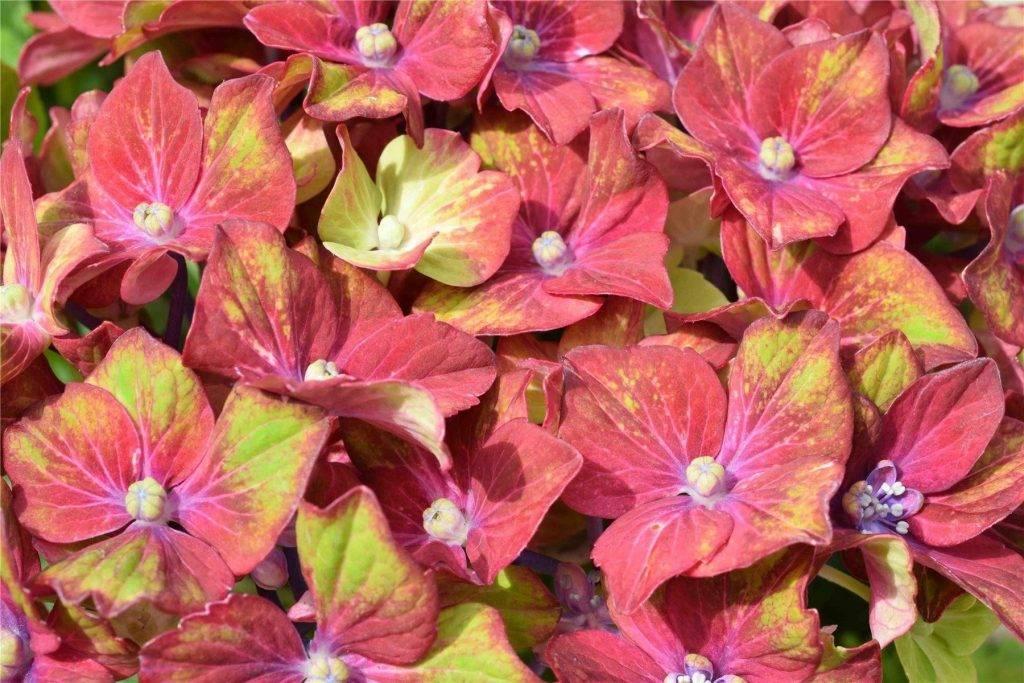 Гортензия шлосс вакербарт — морозостойкое растение