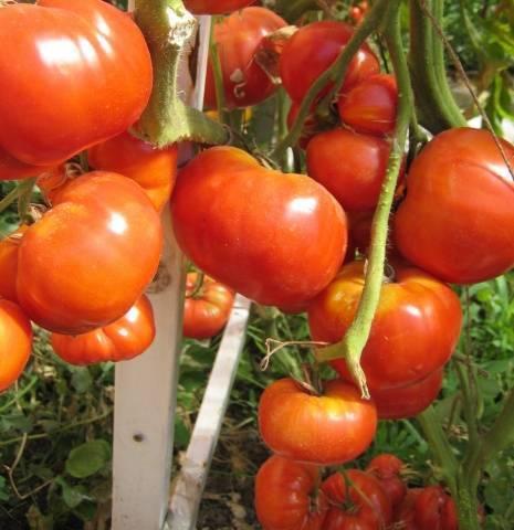 Выращивание томата бабушкино