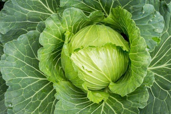 Особенности посадки и выращивания капусты сорта атрия f1
