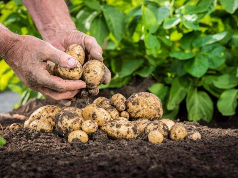 Сорт картофеля «алладин»: характеристика, описание, урожайность, отзывы и фото