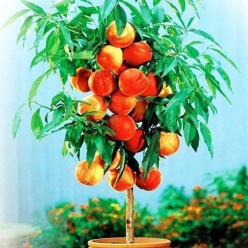 Колоновидный персик — сладкая экзотика на участке без хлопот