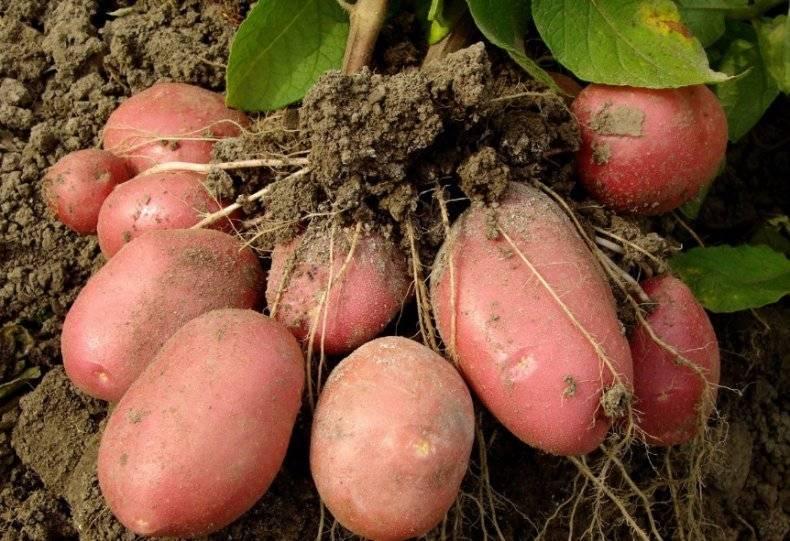 Среднеранний сорт картофеля «бриз» от белорусских селекционеров