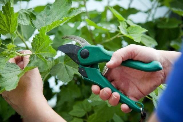 Уход за вишней после сбора урожая: обрезка, полив, подкормка и обработка
