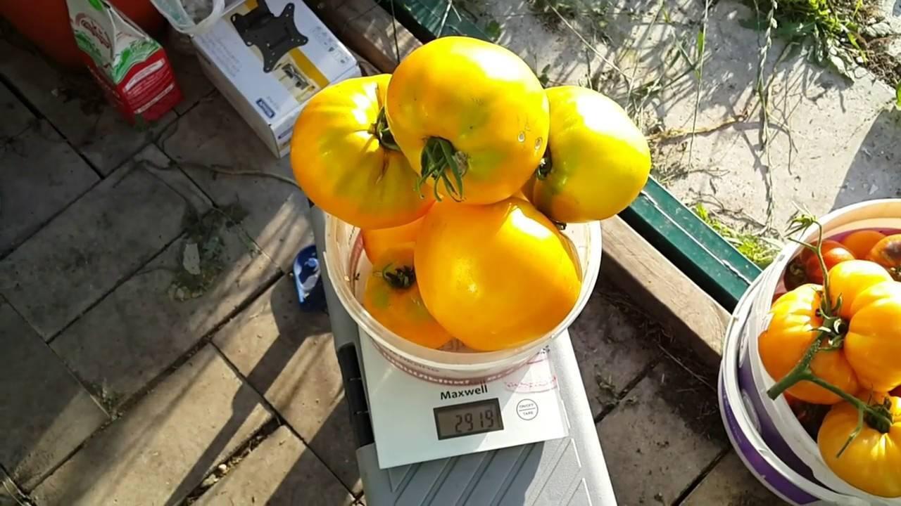 Получаем богатый урожай даже в неблагоприятных погодных условиях, выращивая томат «алтайский шедевр»