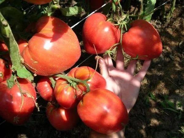 Описание сорта томата чудо света — особенности выращивания