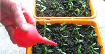 Лучшие способы полива рассады томатов в домашних условиях