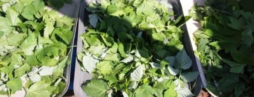 Как и когда собирать листья смородины и малины для сушки на зиму