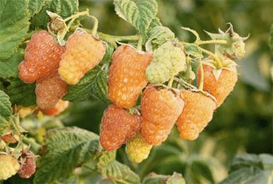 Малина оранжевое чудо: описание сорта, отзывы, фото, уход