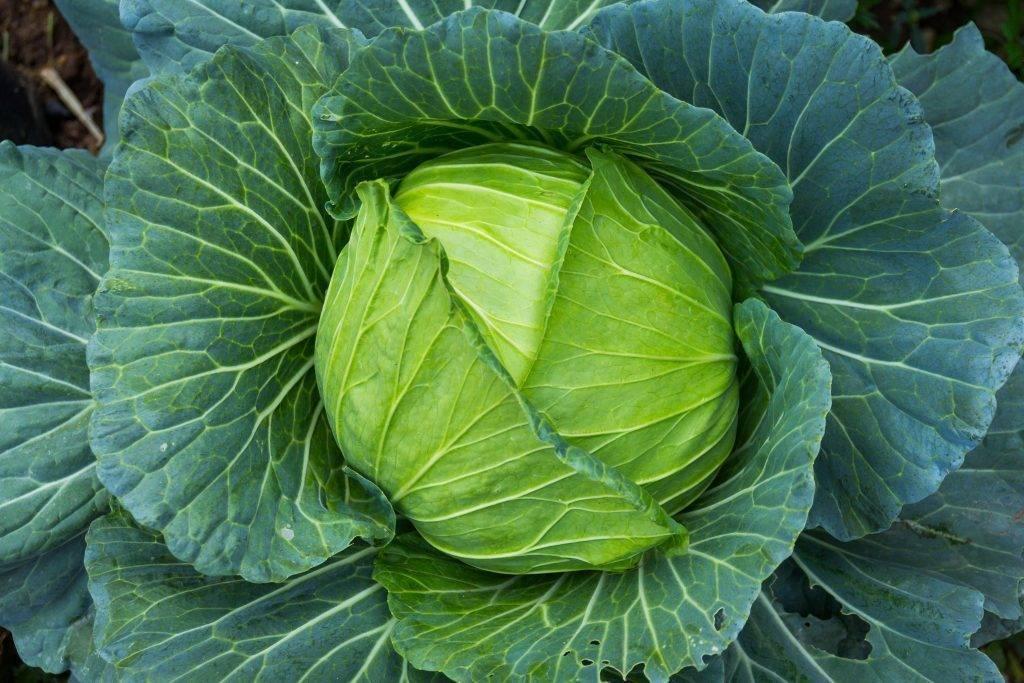 Краутман f1 урожайная капуста. описание, принципы культивирования, отрицательные и положительные качества