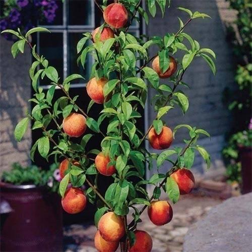 Особенности посадки и ухода за колоновидными персиками