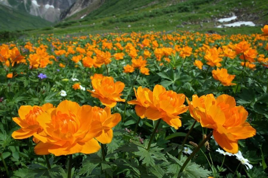 Все о выращивании купальницы: оранжевые, белые, желтые виды садовых цветков