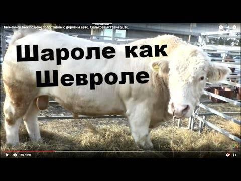 Порода коров шароле характеристика фото отзывы