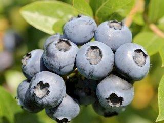Сорта голубики для подмосковья - самые вкусные, морозоустойчивые, урожайные с описанием и фото