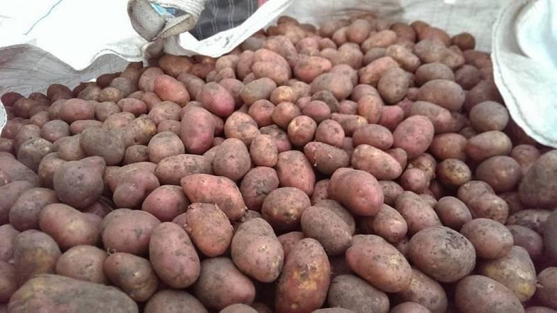 Ильинский сорт картофеля: описание, характеристика и фото