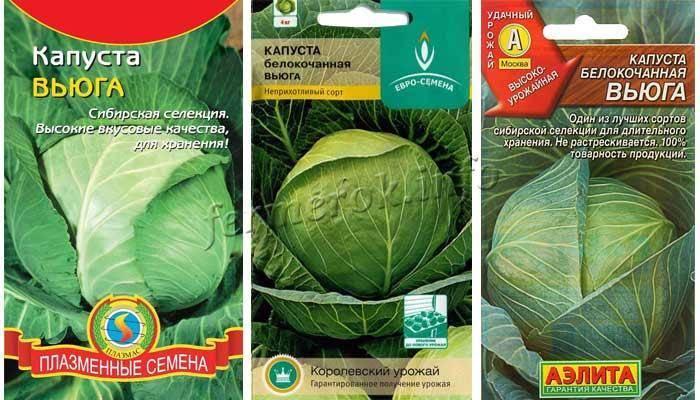 Описание и выращивание капусты сорта коля