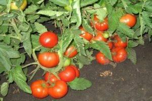 Описание сорта томата сам растет, его характеристика и урожайность