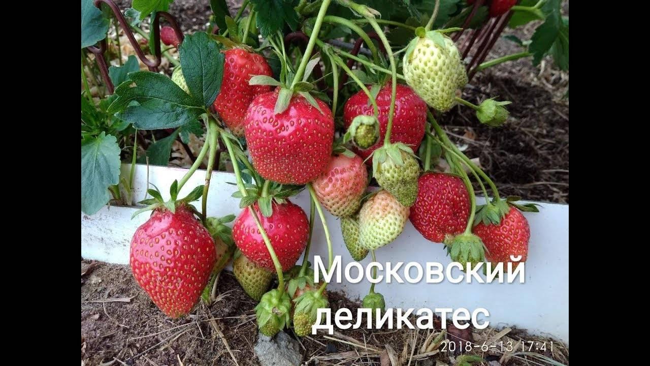 Клубника московский деликатес: описание сорта, посадка и уход, отзывы, рекомендации по выращиванию
