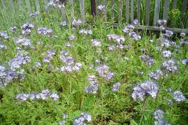 Масличная редька: полезные свойства и выращивание под удобрение