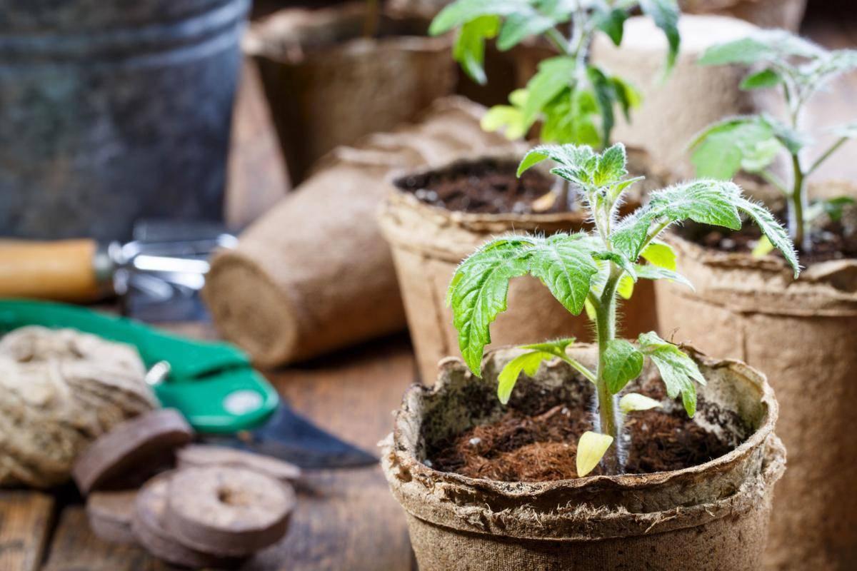 Как правильно пикировать рассаду помидоров: правила безопасной подготовки растений к процедуре и её проведение