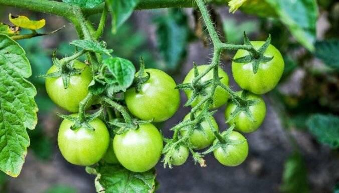 Подкормки томатов после высадки в грунт