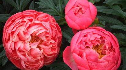 Посадить пионы осенью или лучше подождать до весны?