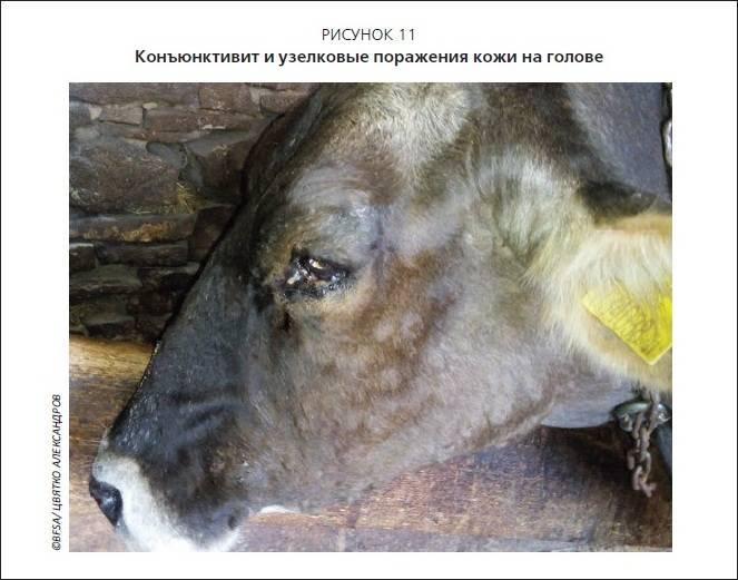 Как проявляется мастит у коровы и какие методы его лечения?
