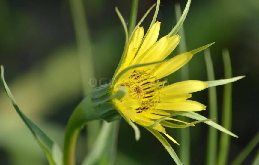 Козлобородник луговой - описание лекарственного растения