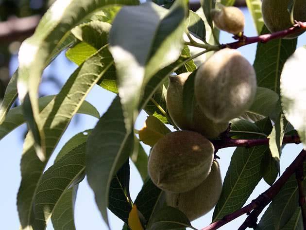 Болезни персика: лечение